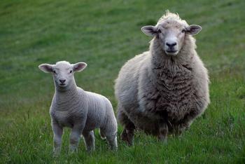 En sau og et lam på en grønn eng, foto: Skeeze fra Pixabay.